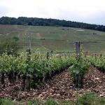 vigne vosne Romanée