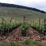 vigne grand cru